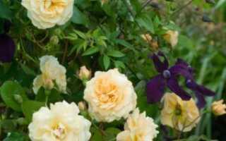 Роза Buff Beauty, описание и основные рекомендации по посадке и уходу