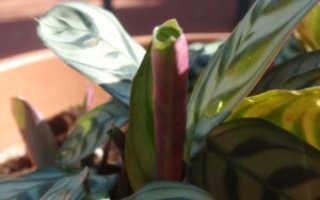 Калатея шафранная: уход в домашних условиях, правила и советы для хорошего роста и цветения