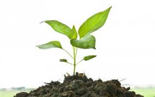 Как выращивать перец Венти в тепличных и домашних условиях