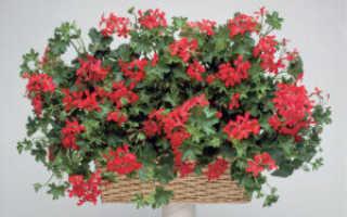 Ампельная (плющелистная) герань: уход в домашних условиях, цветение