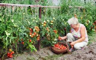 Посадка рассады помидоров на дачном участке