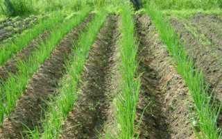 Как правильно посадить лук — нюансы выращивания и ухода для хорошего урожая