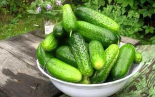 Поздние сорта огурцов для теплицы и выращивания в открытом грунте
