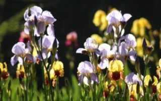 Пересадка ирисов весной, основные правила