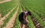 Голландский метод выращивания картофеля – путь к высокому урожаю
