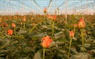 Как хранить розы чтобы долго стояли — советы от садоводов