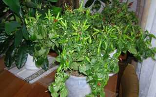 Выращивание рассады перца с нуля в домашних условиях — посев, уход, пересадка в открытый грунт
