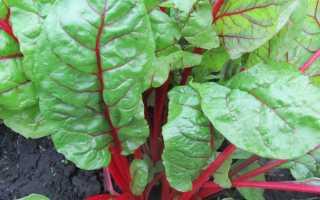 Мангольд – суть выращивания в открытом грунте