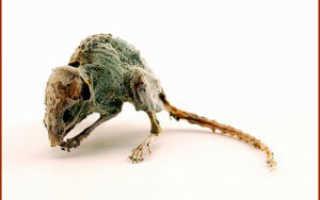 Как выбрать яды для мышей — виды, эффект, отзывы
