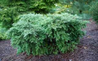5 необычных хвойных растений для средней полосы