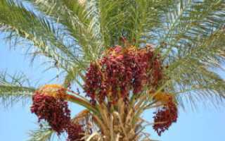 Можно ли вырастить финики на дереве в домашних условиях