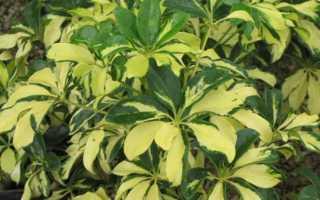 Комнатный цветок Шеффлера — уход, пересадка и способы борьбы с вредителями