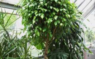 Фикус «Моник»: все об уходе за вечнозеленым растением