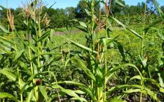 Семена кукурузы Пионер — описание сортов и техника выращивания