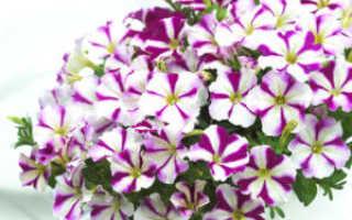 Петуния пикобелла: описание, советы по выращиванию