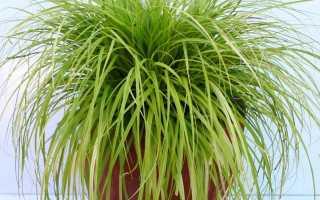 Декоративная осока — одно из самых изящных комнатных растений
