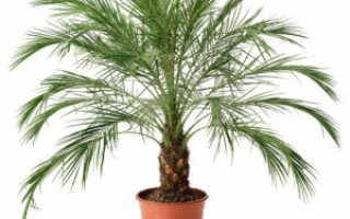 Как прорастить финиковую косточку в домашних условиях: подготовка почвы и уход за растением