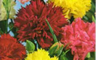 Какой уход требует гвоздика Гренадин, особенности выращивания из семян