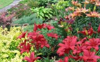 Уход за лилиями в саду — основные характеристики