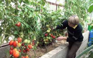 Выращивание помидор в теплице из поликарбоната — от выбора сортов до сбора урожая