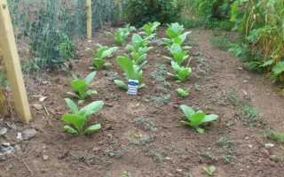 Табак крылатый для декоративного оформления садового участка
