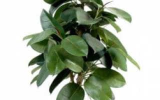 Как укоренить цветок семейного благополучия: фикус с крупными листьями