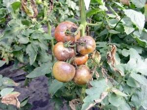Пораженные плоды томатов