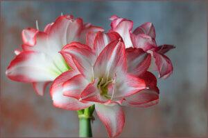 бело-розовый амариллис