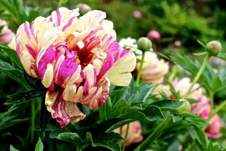 Пион Lollipop - фото цветения