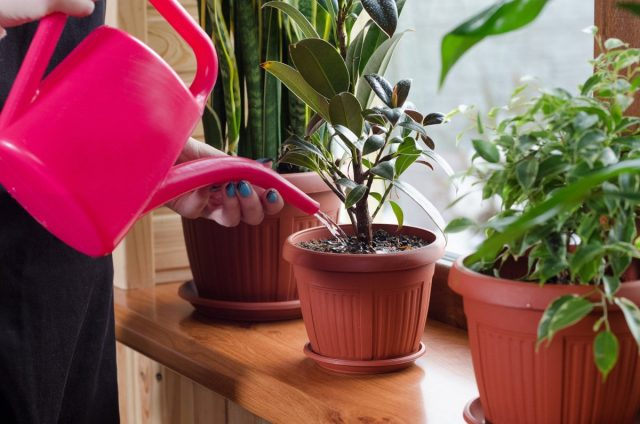 Комнатные растения можно группировать по степени влаголюбивости (влаголюбивые, умеренно влаголюбивые или засухоустойчивые)