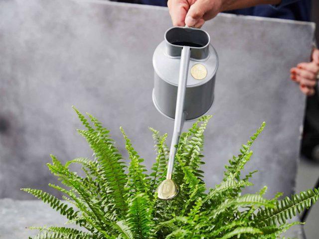 Для полива желательно использовать удобные, специально предназначенные для комнатных растений лейки с рассеивающими насадками