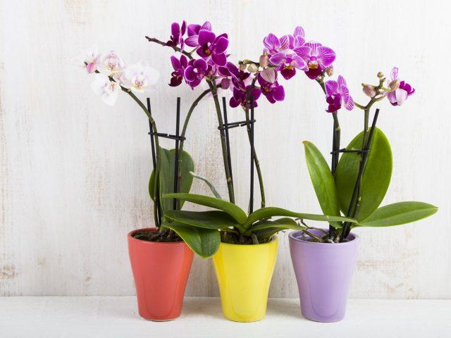 Фаленопсисы (Phalaenopsis)