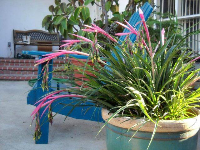Размещение кустиков бильбергии летом в саду, на террасе или балконе — идеальный вариант для этого растения