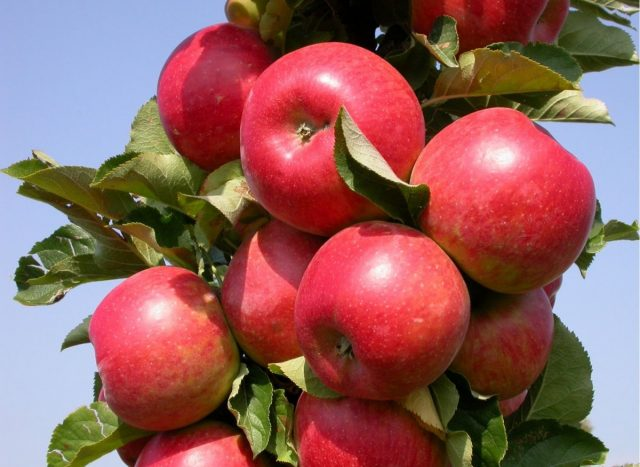 Колоновидная яблоня «Останкино»