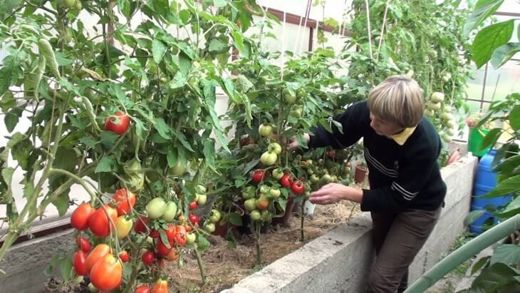 Для выращивания в теплице используют 2 сорта помидоров