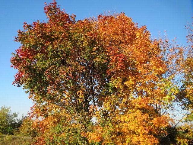 Клен остролистный (Acer platanoides)