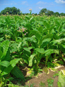 Выращивание табака в поле