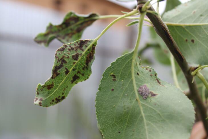 Пораженные листики дерева