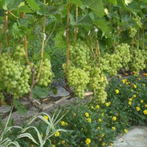 Прекрасное украшение сада виноградом