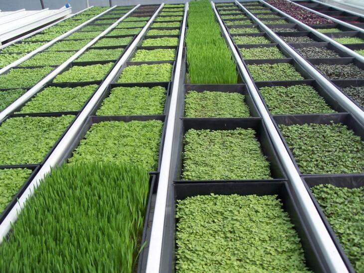 При выращивании зелени нужно соблюдать следующие требования