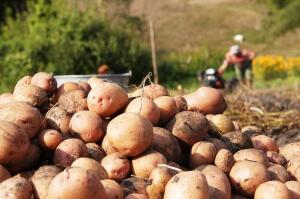 Крупный картофель, выращенный в поле