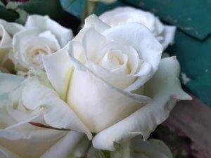 Цветение розы Анастасия