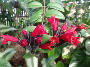 красный эсхинантус