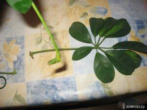 Шеффлера - размножение листом