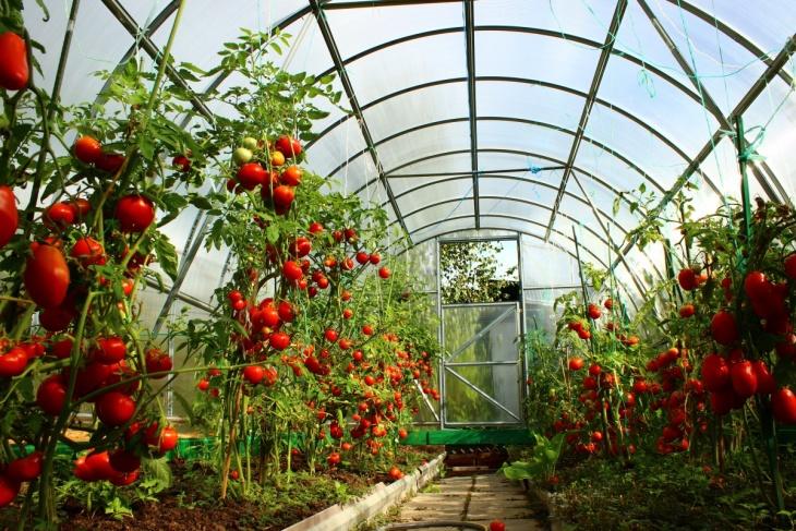 Ранний сорт томатов