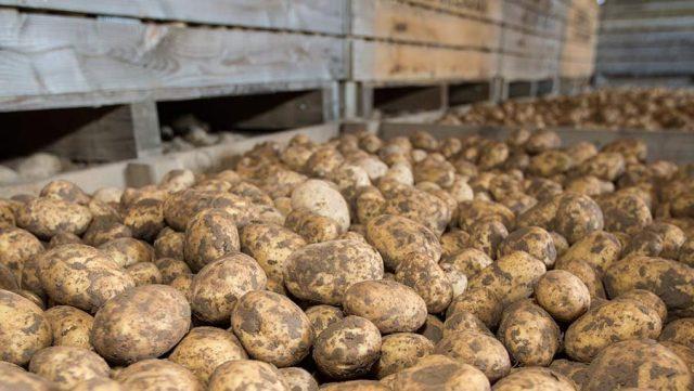 Картофель на хранении должен содержаться в контейнерах или ящиках с равномерно расположенными, вентиляционными отверстиями