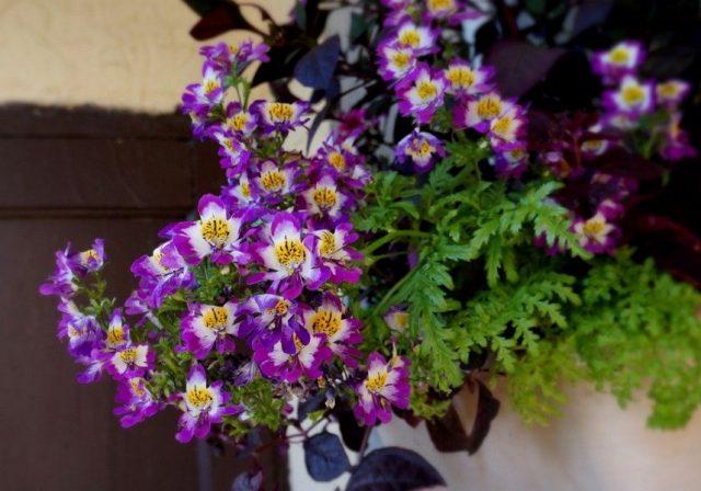 Схизантус, или Шизантус «Лилак биколор» (Schizanthus 'Lilac Bicolor')