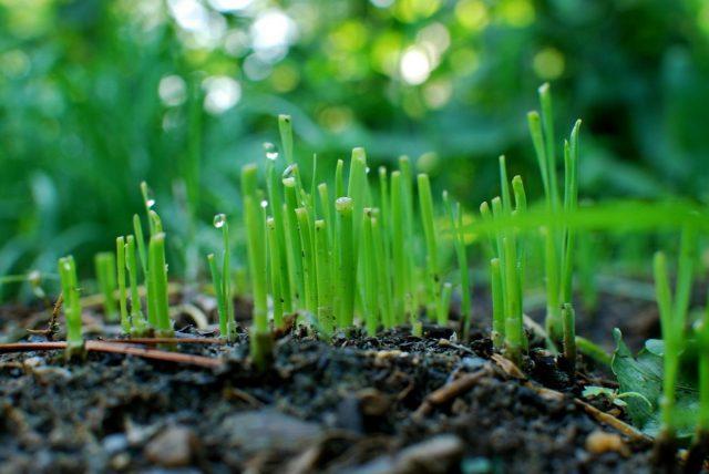 Лук-порей (Allium ampeloprasum 'Leek Group') в первые месяцы растет медленно, наращивая корневище и «веер» листьев