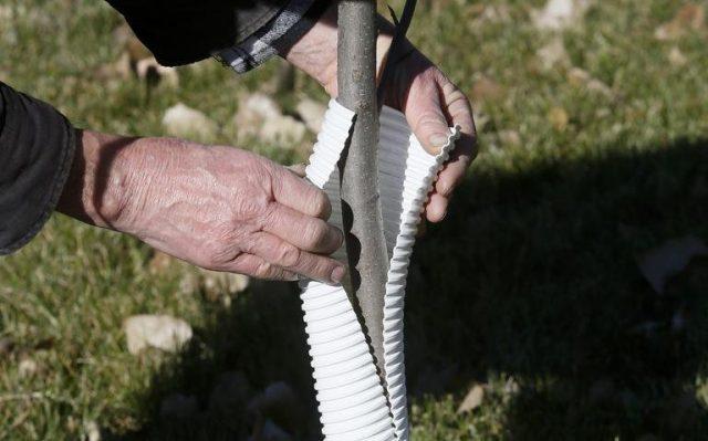 Оборачивание и окружение стволов специальными материалами для защиты от грызунов проводят еще осенью