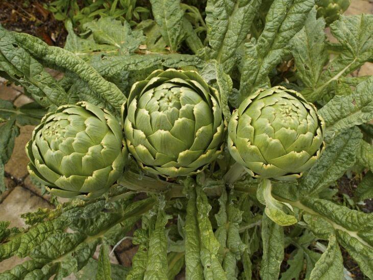 Артишок - это многолетнее растение для вашего сада